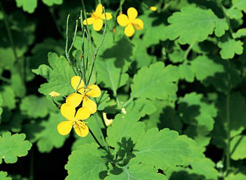celandine-herb
